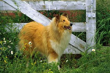 Collie (Canis familiaris) portrait  -  Mark Raycroft