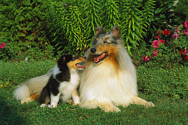 Collie (Canis familiaris) blue merle adult and tri-color puppy  -  Mark Raycroft