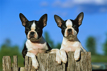 Boston Terrier (Canis familiaris) two puppies peaking over fence  -  Mark Raycroft