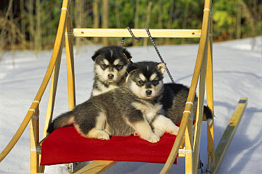 Alaskan Malamute (Canis familiaris) puppies laying on sled  -  Mark Raycroft