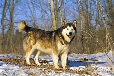 Alaskan Malamute (Canis familiaris) adult, portrait in snow  -  Mark Raycroft