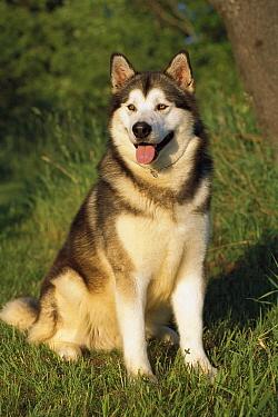 Alaskan Malamute (Canis familiaris) portrait sitting  -  Mark Raycroft