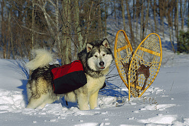 Alaskan Malamute (Canis familiaris) in snow wearing pack  -  Mark Raycroft