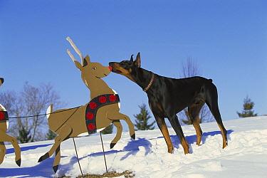 Doberman Pinscher (Canis familiaris) curious male investigating Reindeer  -  Mark Raycroft
