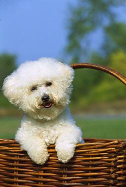 Bichon Frise (Canis familiaris) in basket  -  Mark Raycroft