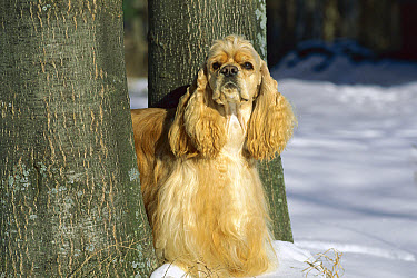 Cocker Spaniel (Canis familiaris) portrait in snow  -  Mark Raycroft