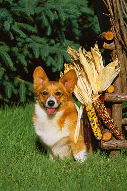 Welsh Corgi (Canis familiaris) portrait with dried Maize  -  Mark Raycroft