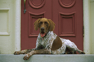 German Shorthaired Pointer (Canis familiaris) laying on step  -  Mark Raycroft