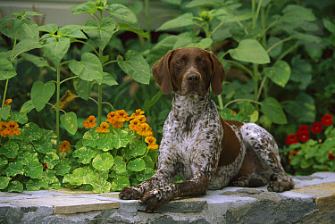 German Shorthaired Pointer (Canis familiaris) laying on rock wall  -  Mark Raycroft