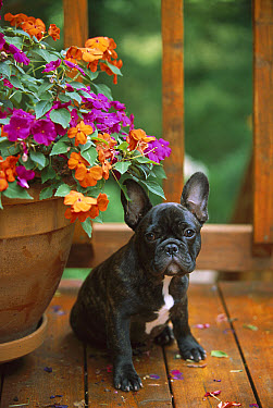 French Bulldog (Canis familiaris) black and white puppy sitting on deck with Impatiens flowers  -  Mark Raycroft