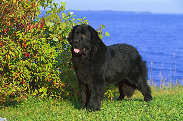 Newfoundland (Canis familiaris) black adult, portrait on lawn  -  Mark Raycroft