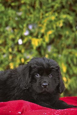 Newfoundland (Canis familiaris) black puppy laying on red blanket  -  Mark Raycroft