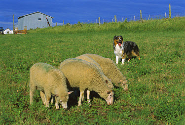 Australian Shepherd (Canis familiaris) guarding sheep  -  Mark Raycroft