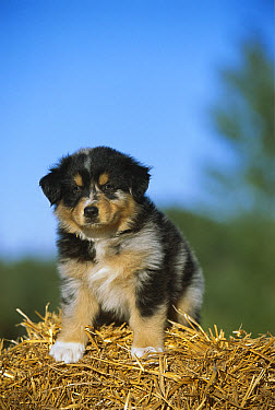 Australian Shepherd (Canis familiaris) portrait of puppy on hay bale  -  Mark Raycroft