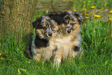 Australian Shepherd (Canis familiaris) two puppies sitting in grass  -  Mark Raycroft