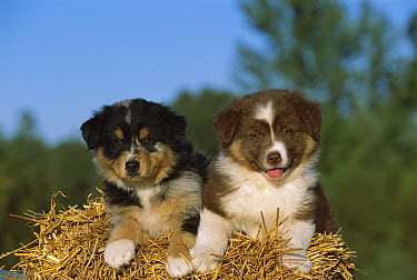Australian Shepherd (Canis familiaris) puppies on hay bale  -  Mark Raycroft