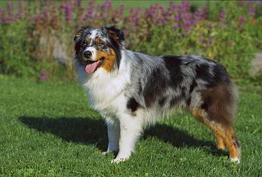 Australian Shepherd (Canis familiaris) portrait standing on lawn  -  Mark Raycroft