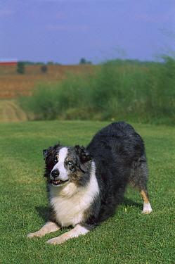 Australian Shepherd (Canis familiaris) with blue eyes, bowing  -  Mark Raycroft
