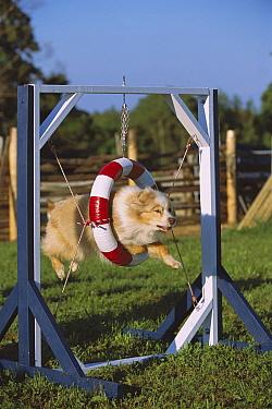 Australian Shepherd (Canis familiaris) jumping through tire  -  Mark Raycroft