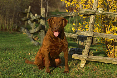 Chesapeake Bay Retriever (Canis familiaris) portrait next to wooden fence  -  Mark Raycroft