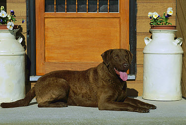 Chesapeake Bay Retriever (Canis familiaris) lying by door  -  Mark Raycroft