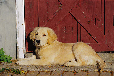Golden Retriever (Canis familiaris) puppy laying in front of barn door  -  Mark Raycroft