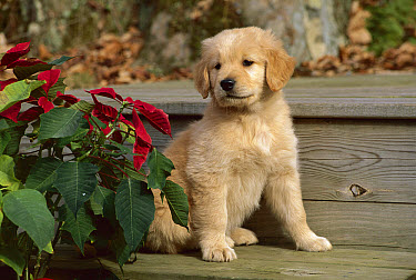 Golden Retriever (Canis familiaris) puppy sitting beside poinsettia  -  Mark Raycroft