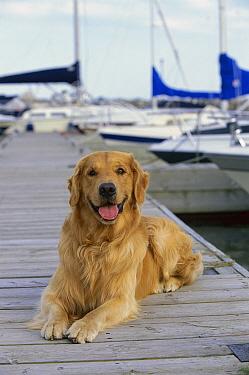 Golden Retriever (Canis familiaris) laying on boardwalk at harbor  -  Mark Raycroft