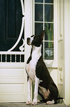 Great Dane (Canis familiaris) with mantle coloration sitting by front door  -  Mark Raycroft