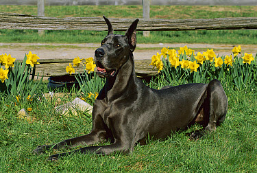 Great Dane (Canis familiaris) blue color laying in grass with blooming daffodils  -  Mark Raycroft