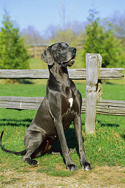 Great Dane (Canis familiaris) blue color female sitting in front of fence  -  Mark Raycroft