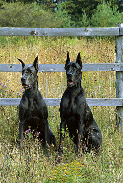 Great Dane (Canis familiaris) black and blue colors sitting in front of fence  -  Mark Raycroft
