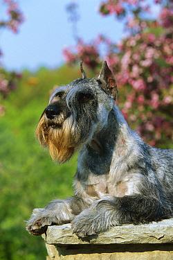 Standard Schnauzer (Canis familiaris) laying on bench  -  Mark Raycroft