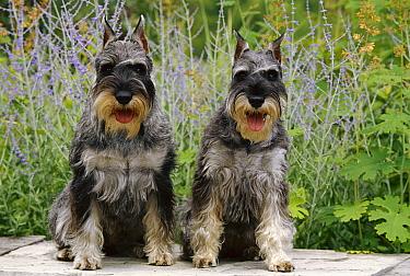 Standard Schnauzer (Canis familiaris) pair seated  -  Mark Raycroft