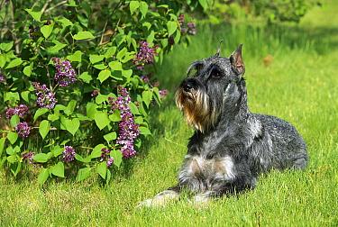 Standard Schnauzer (Canis familiaris) laying on lawn beside lilac bush  -  Mark Raycroft