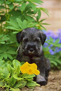 Standard Schnauzer (Canis familiaris) puppy in garden with yellow primrose  -  Mark Raycroft