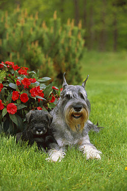 Standard Schnauzer (Canis familiaris) adult and puppy laying in grass beneath impatiens flowers  -  Mark Raycroft