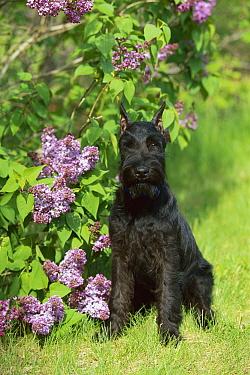 Standard Schnauzer (Canis familiaris) puppy sitting next to lilacs  -  Mark Raycroft