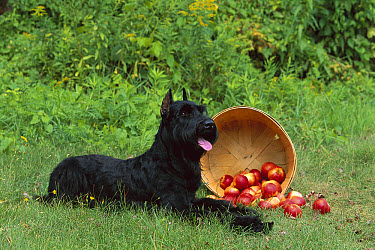 Giant Schnauzer (Canis familiaris) laying with bushell of spilled apples  -  Mark Raycroft