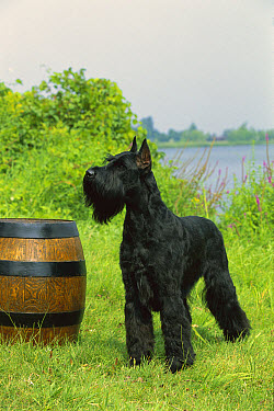 Giant Schnauzer (Canis familiaris) standing next to barrel  -  Mark Raycroft