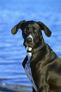 Great Dane (Canis familiaris) portrait with natural ears  -  Mark Raycroft