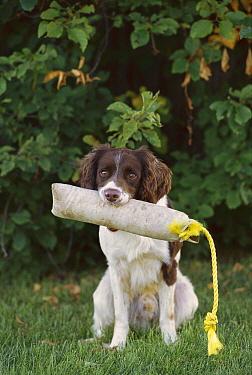English Springer Spaniel (Canis familiaris) with training bumper  -  Mark Raycroft