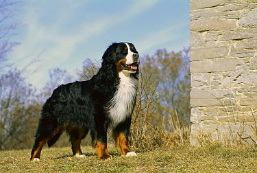 Bernese Mountain Dog (Canis familiaris) adult standing beside stone building  -  Mark Raycroft