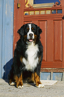 Bernese Mountain Dog (Canis familiaris) sitting at front door  -  Mark Raycroft