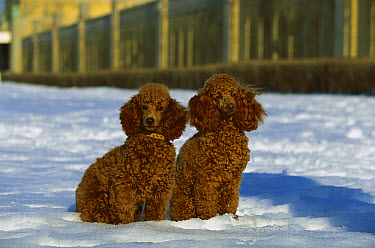 Miniature Poodle (Canis familiaris) pair in snow  -  Mark Raycroft