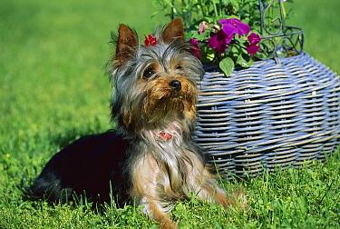 Yorkshire Terrier (Canis familiaris) puppy beside basket  -  Mark Raycroft