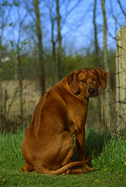 Rhodesian Ridgeback (Canis familiaris) showing namesake ridge down back  -  Mark Raycroft
