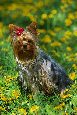Yorkshire Terrier (Canis familiaris) portrait in dandelion field  -  Mark Raycroft