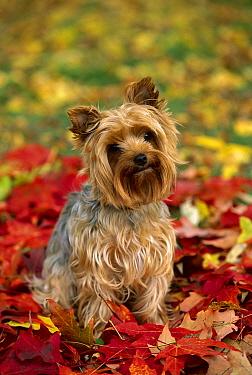 Yorkshine Terrier (Canis familiaris) puppy sitting amid autumn leaves  -  Mark Raycroft