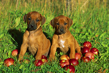 Rhodesian Ridgeback (Canis familiaris) puppy pair sitting amid apples  -  Mark Raycroft